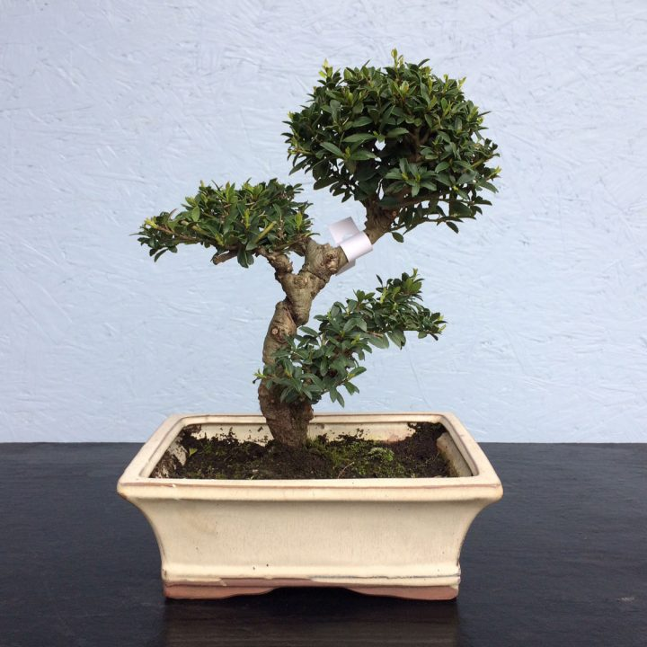 Japanese Holly