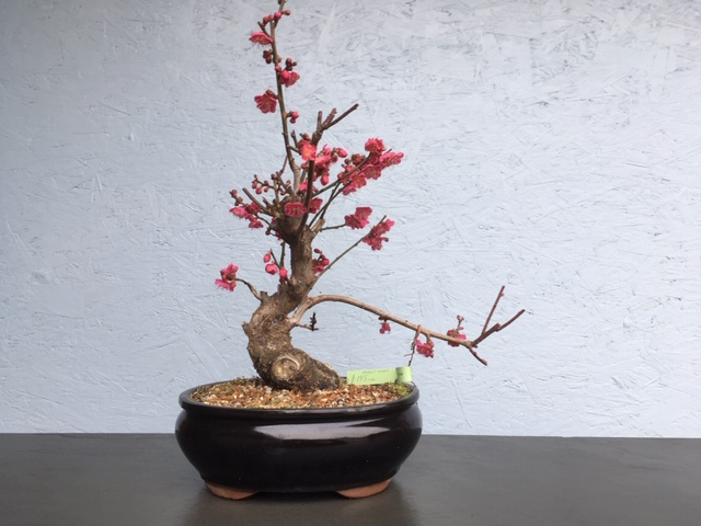 Flowering Japanese Apricot