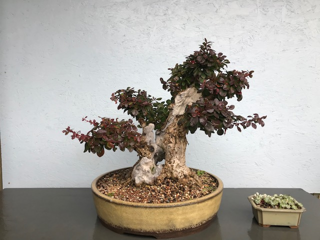 Purple Japanese Barberry
