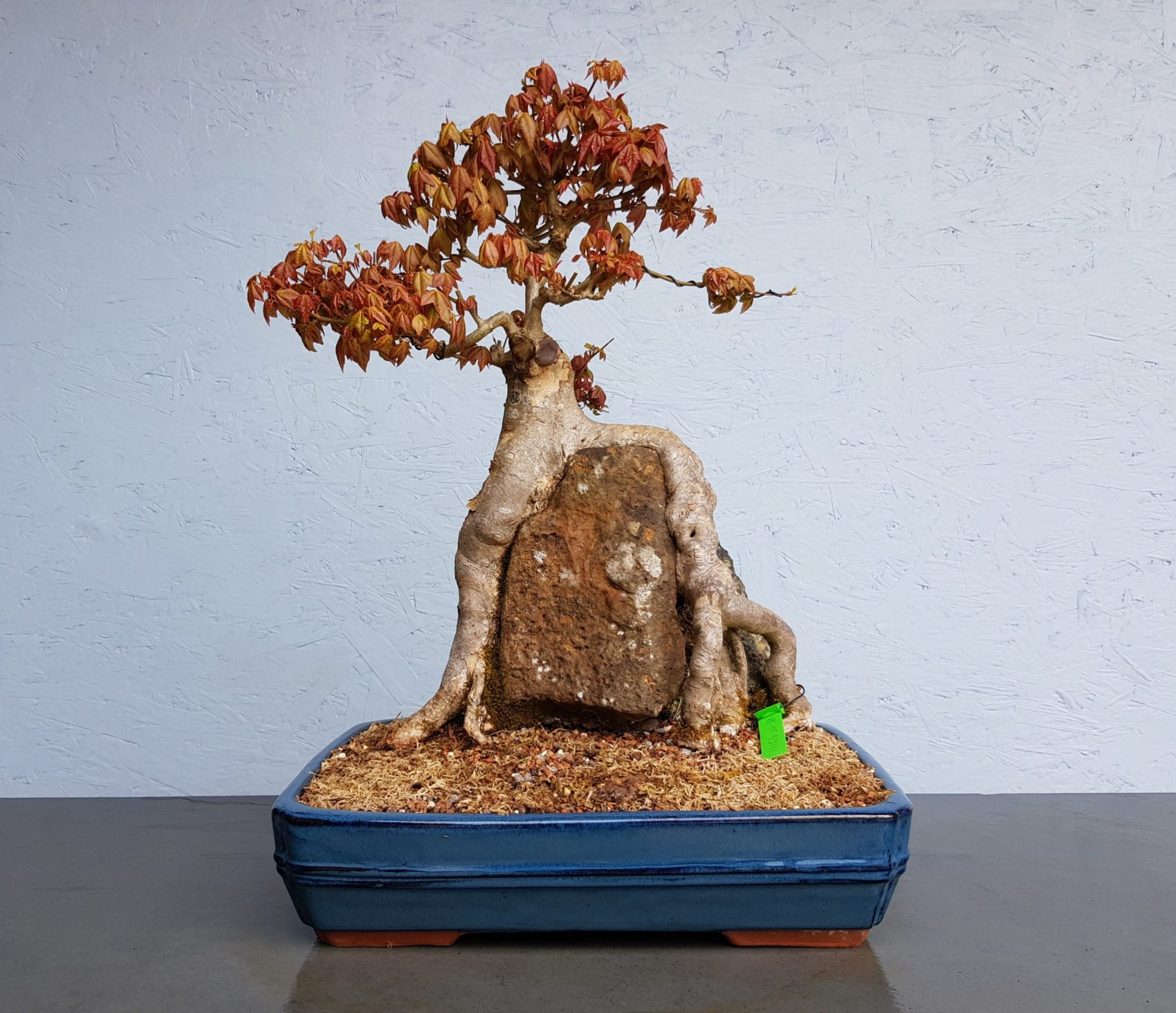 Trident Maple     Root Over Rock