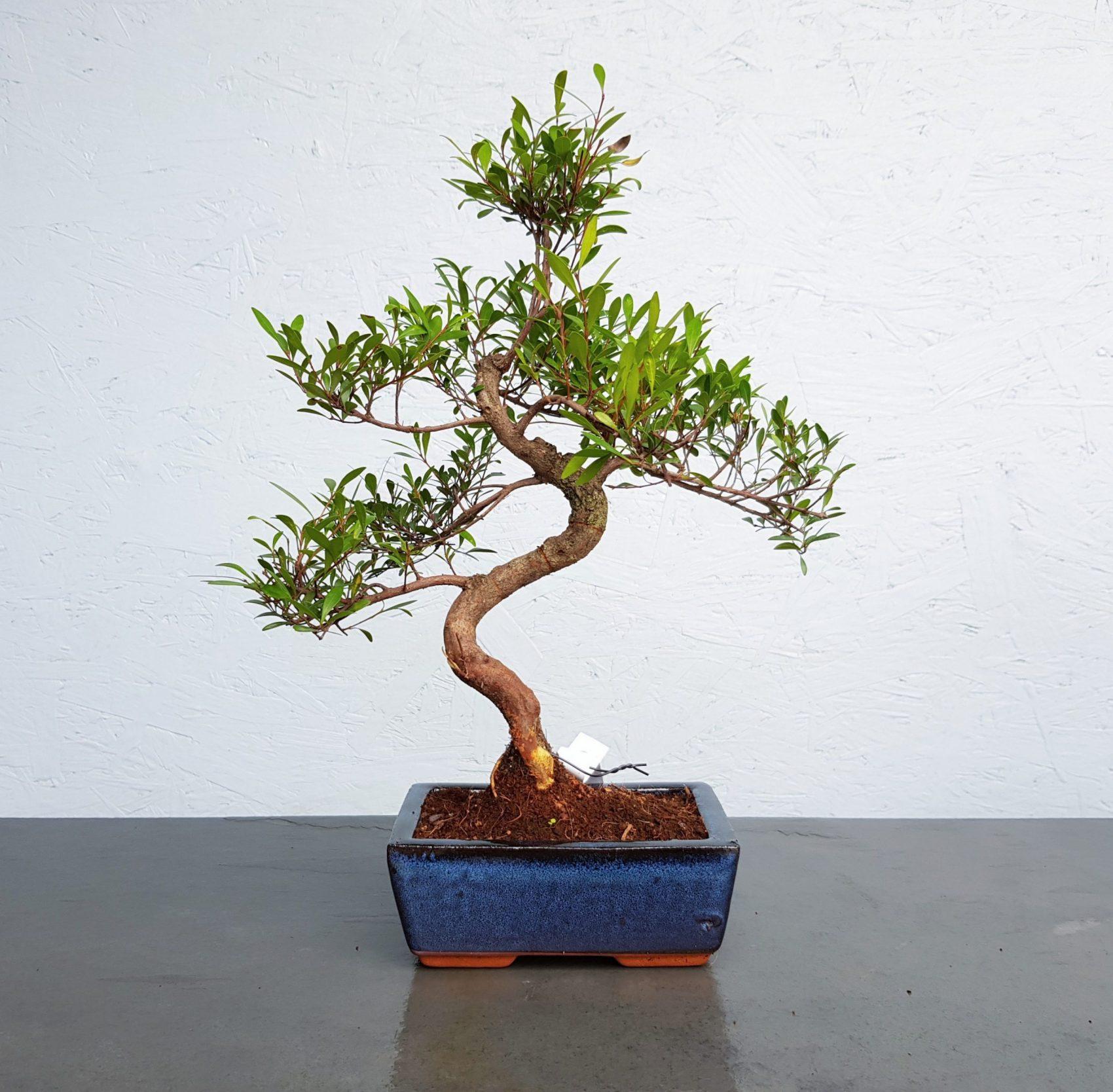 Syzygium