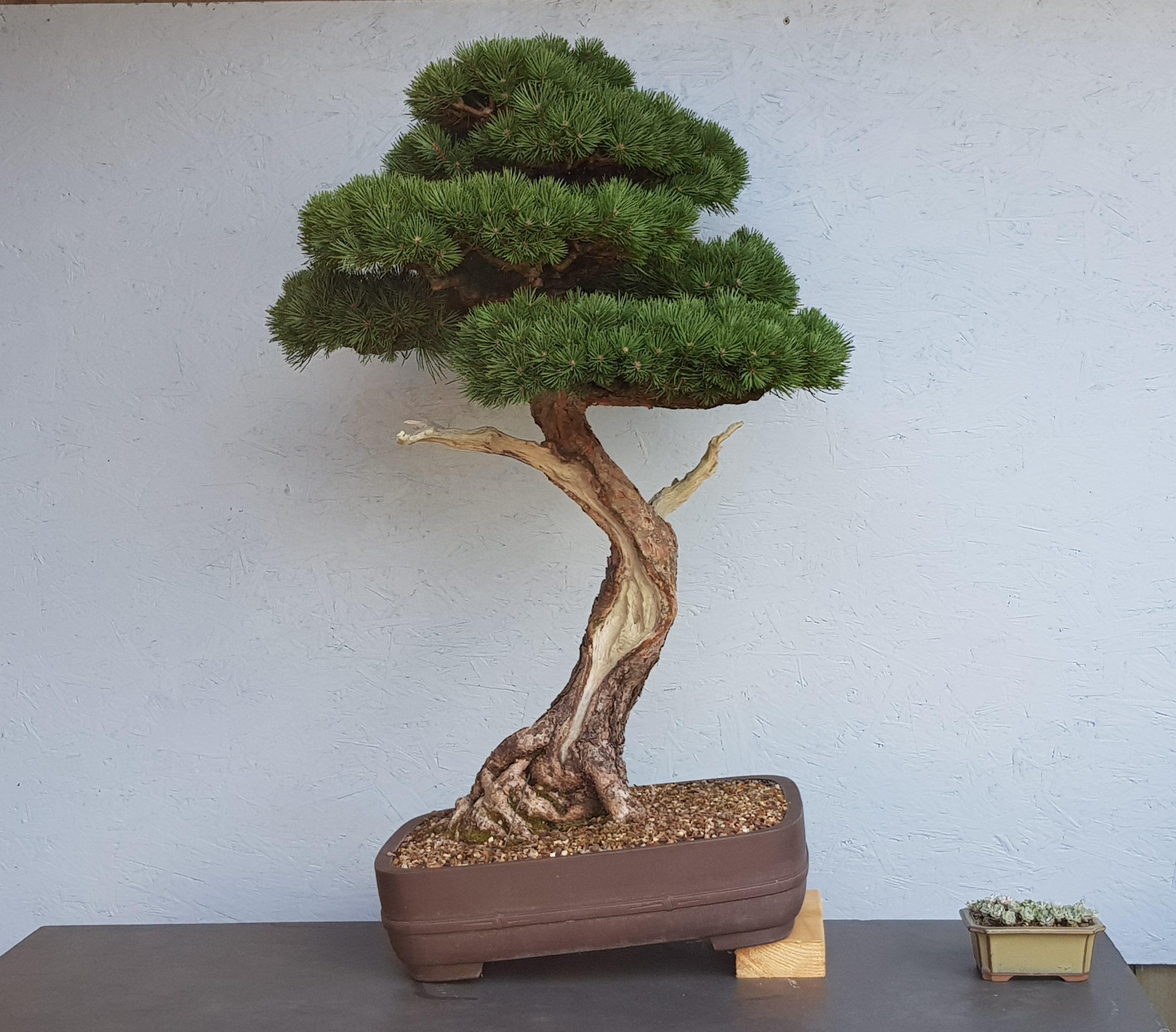 "Scots Pine ""Beuvronensis"""