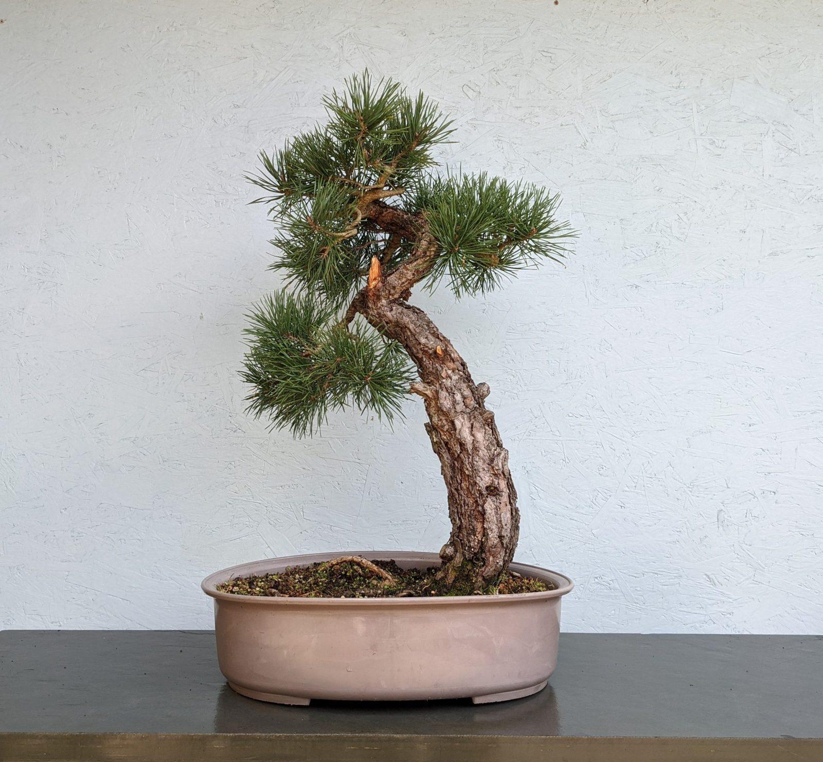 Yamadori Scots Pine